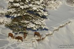cerf.neige1-170