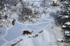 cerf.neige1-181
